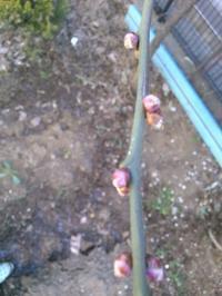 梅の蕾 - うちの庭の備忘録 green's garden