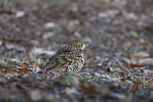 今季初撮りトラツグミ - 『彩の国ピンボケ野鳥写真館』