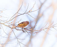 冬の野鳥たち13 ベニマシコ - 光 塗人 の デジタル フォト グラフィック アート (DIGITAL PHOTOGRAPHIC ARTWORKS)