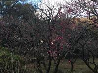 梅が咲き始めていまちた♪〜 - パールとマーヤのほのぼの日記!