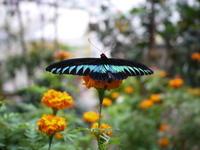 キャメロンハイランド蝶と花々 - ぶらり休暇