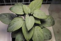 "Homalomena sp. 'Creamy Green' ""Malay Peninsula"" - PlantsCade -2nd effort"