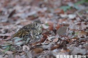 トラツグミ - 野鳥大好き!闘将・N