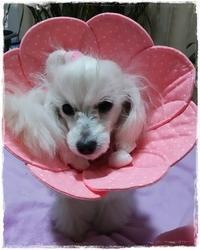 トイプーのゆりあちゃん♪ - ハンドメイドのエリザベスカラー ★☆お花エリカラ☆★