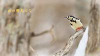 アカゲラ - 北の野鳥たち