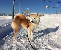 男前♡ - 柴犬さくら、北国に生きる