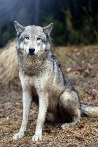 東山動植物園のシンリンオオカミたち - 動物園放浪記