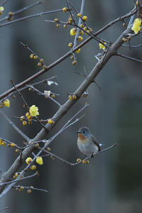 ニシオジロビタキ 01月09日-2 - 旧サンヨン(Nikon 300mm f/4D)野鳥撮影放浪記