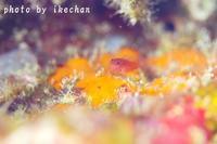 まだまだだな ~オオメハゼ幼魚~ - 池ちゃんのマリンフォト
