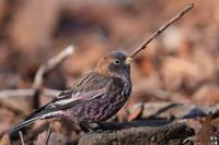 極寒の中のハギマシコ - 野鳥公園