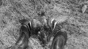 見つかると逃げられる鴨猟 - 紺碧の空へ