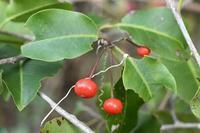 17年冬の自然(8)……赤い実(2) - ふぉっしるもしてみむとてするなり