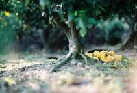 『蜜柑』 (写真部門) - 果実な日々