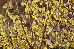 大阪城公園の蝋梅と早咲きの梅と水仙と・・・ - たんぶーらんの戯言