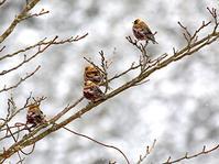 雪の花  ハギマシコ - 頑固親父の探鳥記