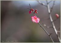 まだまだ固い梅蕾花 - 野鳥の素顔 <野鳥と・・・他、日々の出来事>