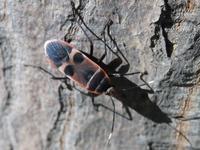 オオホシカメムシ Physopelta gutta - 写ればおっけー。コンデジで虫写真
