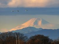 ハクチョウ 富士山 多々良沼 再び - 『私のデジタル写真眼』