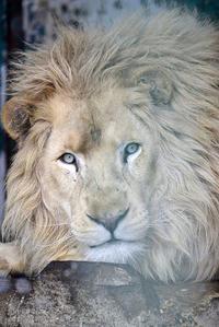 2016.12.17 東北サファリパーク☆ホワイトライオンのリオンくん【White lion】 - 青空に浮かぶ月を眺めながら