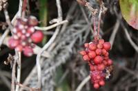 17年冬の自然(9)……赤い実(3) - ふぉっしるもしてみむとてするなり