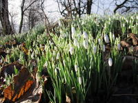 スノードロップの庭 - ブルーベルの森-ブログ-英国カントリーサイドのライフスタイルをつたえる