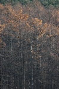 今日のカラマツ林 2016/11/22 - 空ヤ畑ノコトバカリ