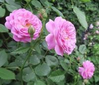 Koiko's Rose Collection 24)ラベンダー ラッシー - Lavender Lassie - 恋子のガーデニング日記
