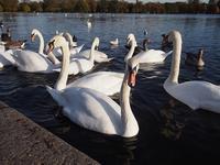 酉年にハイドパークで鳥と戯れる (旅行お出かけ部門) - Chakomonkey Everyday in London