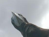 カツオドリ - 西表島の石やんのあれやこれや
