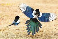 カササギ - 北の野鳥たち