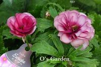 ラナンキュラス ラックスシリーズ入荷です ♪ - O's garden へ ようこそ~ ♪