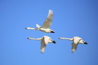 白鳥の郷 - fumufumu日記