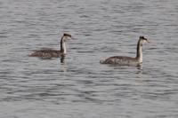 近所の川にスズガモ登場 - 野鳥写真日記 自分用アーカイブズ