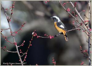梅園のジョビ - 野鳥の素顔 <野鳥と・・・他、日々の出来事>