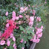 Koiko's Rose Collection 25)サティーナ Satina - 恋子のガーデニング日記