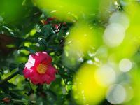 山茶花 1月にも美しく - 光の音色を聞きながら Ⅱ