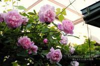 ゆるフワな薔薇 - 彼とカヲリの庭の関係