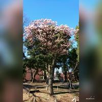 「桜楽しみ寒桜から」上野公園散歩②2017.1.21 - わたしの写真箱 ..:*:・'°☆