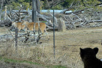 サバンナを夢見るチーター - 動物園へ行こう