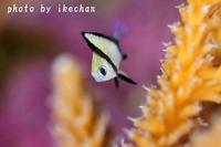 いやぁ~我ながら ~フタスジリュウキュウスズメダイ幼魚~ - 池ちゃんのマリンフォト