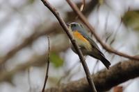 今季初 キクイタダキは松の葉の中 - 野鳥写真日記 自分用アーカイブズ