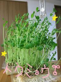 キッチン菜園♡ - Aloha Kayo-s Style