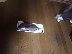 鯛を一尾買いました^^鯛めしを作った! - ちゃたろうと気まま日記