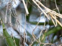 ホソミイトトンボ 越冬探し 3度目 新個体観察 - オヤヂのご近所仲間日記