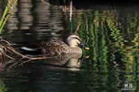537 出雲大社 ~出雲大社の池にいる鳥~ - 眼遊記