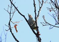 高い木に、、 - ぶらり探鳥