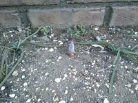 チューリップの芽 - うちの庭の備忘録 green's garden