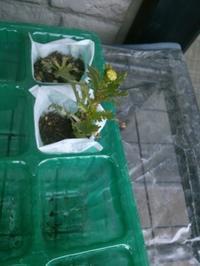 ノースポールの花芽 - うちの庭の備忘録 green's garden