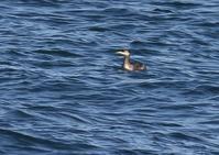 東海岸にて - 写真で綴る野鳥ごよみ