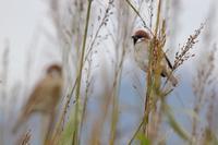 北の隣県遠征 その2 ハジロカイツブリ - 野鳥写真日記 自分用アーカイブズ